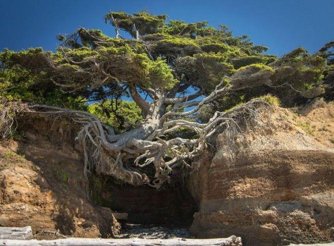 Сила природы деревья не желающие умирать