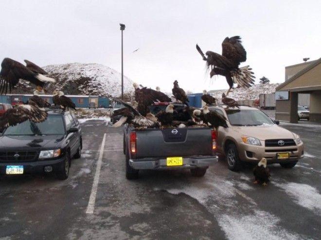 Орлы на Аляске как голуби у нас