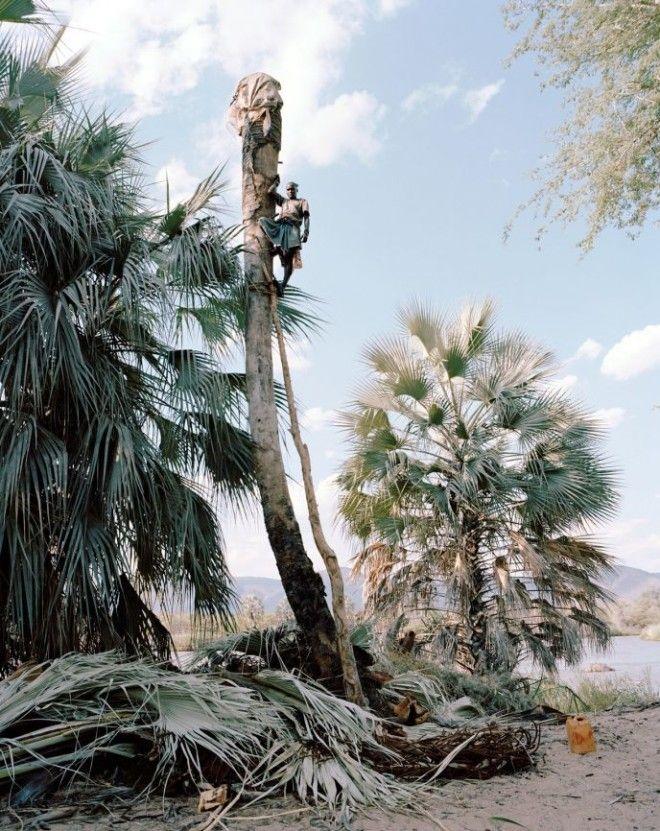 BРискуя жизнью эти мужчины добывают пальмовый сок чтобы заработать на хлеб