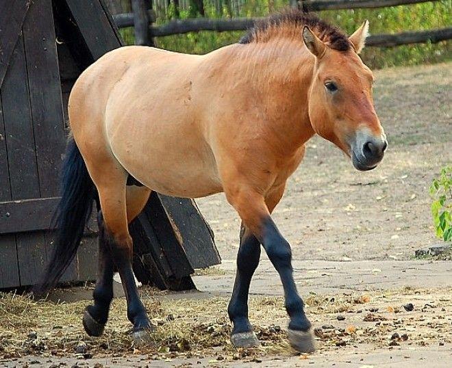 Warsaw ZOO Equus Przewalskiijpg