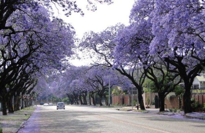 Цветущие удивительным сиреневым цветом деревья образуют целый коридор наполненный сладкими ароматами