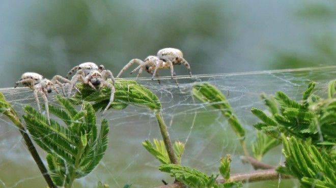 Stegodyphus dumicola исследование лонгрид пауки