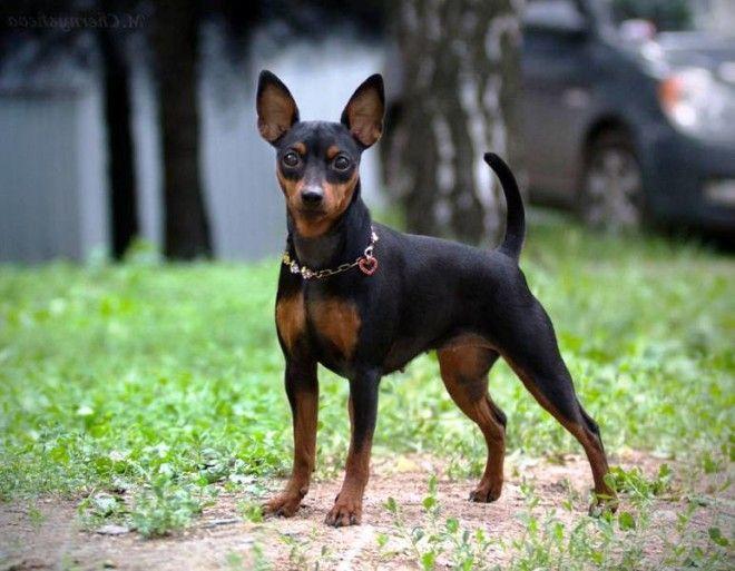 B12 самых маленьких пород собак
