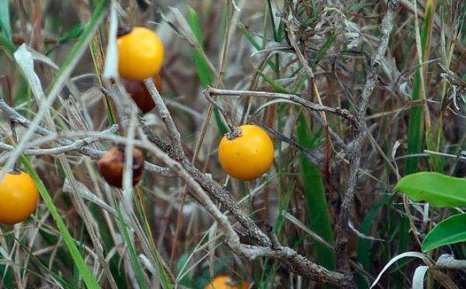 Дикий баклажан гмо овощи факты фрукты