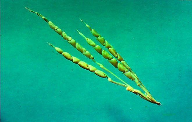 Дикая кукуруза гмо овощи факты фрукты