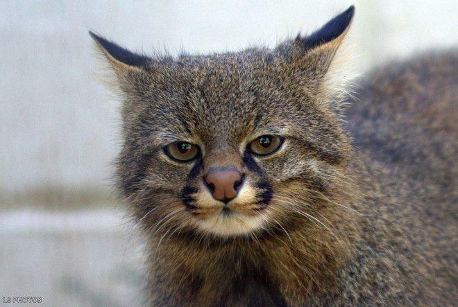 Картинки по запросу Пампасская кошка