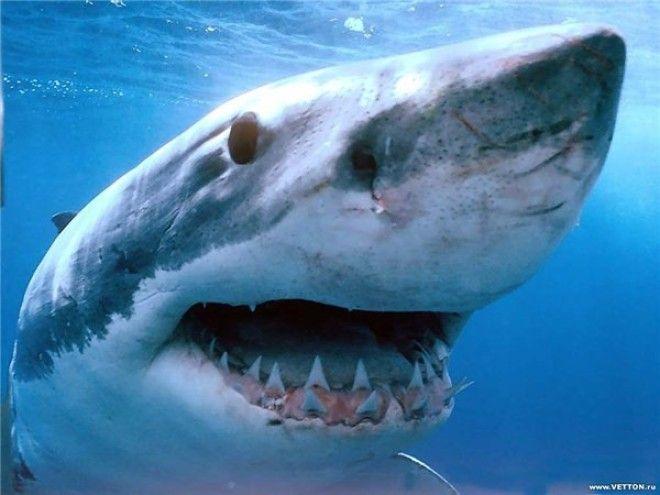 Картинки по запросу беременная акула