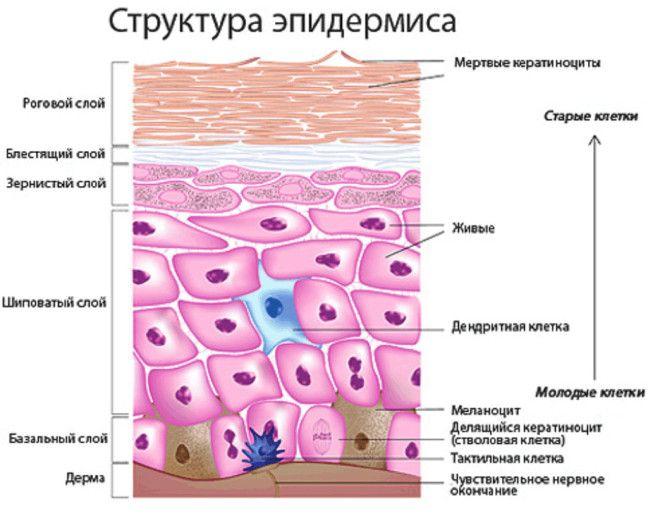 Картинки по запросу эпидермис кожи