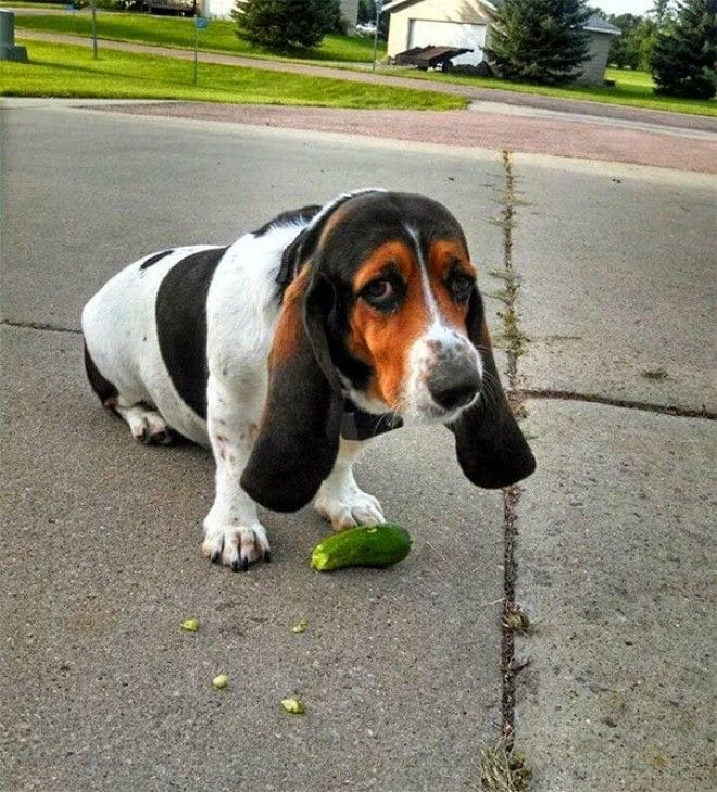 I Present To You Duffy My Cucumber Stealing Bassett Hound