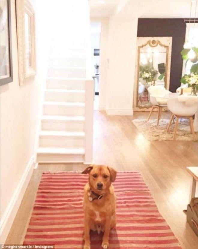Любимый пес на красной дорожке в коридоре дома Меган Маркл