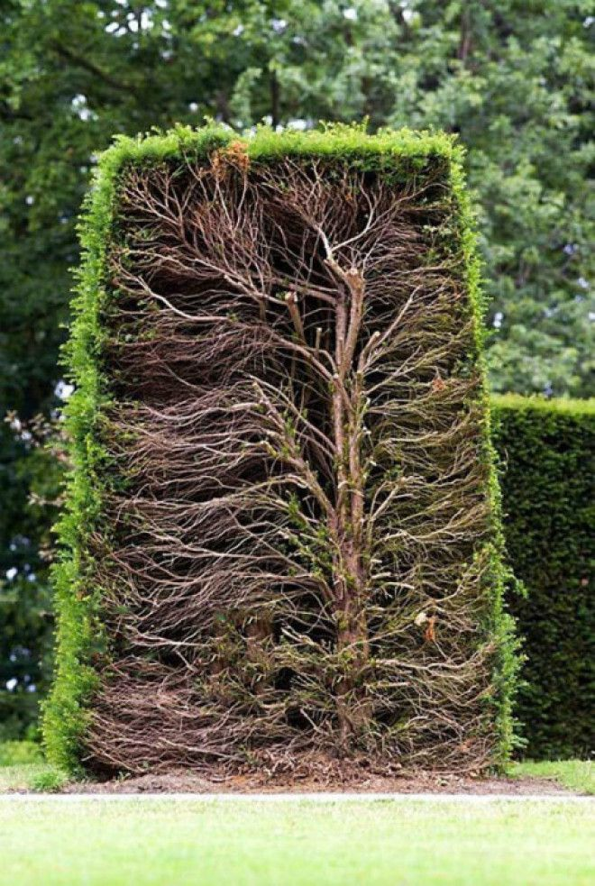 Живая изгородь в разрезе