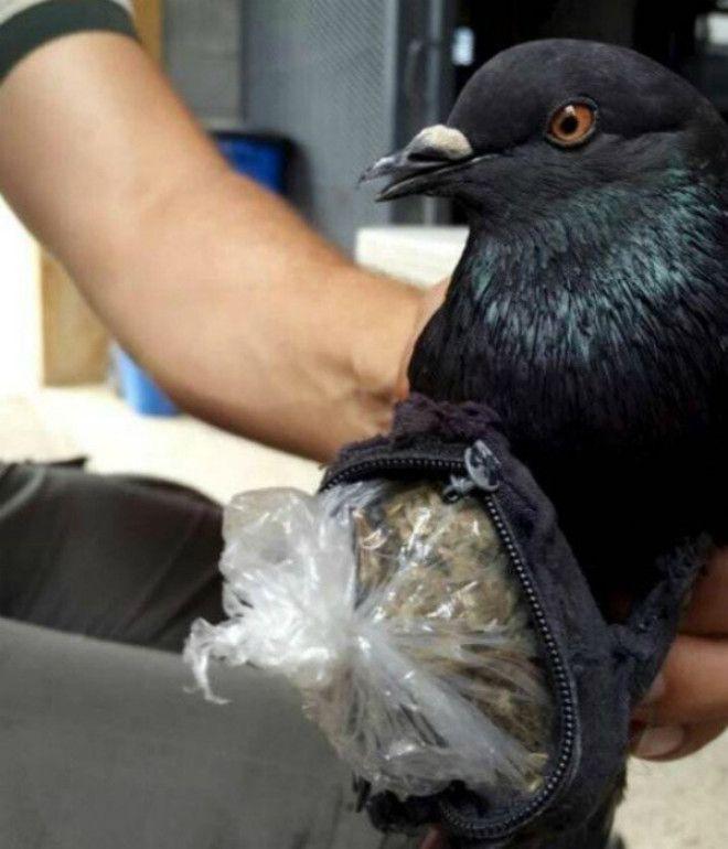 Почтовый голубь с сумочкой наркотиков