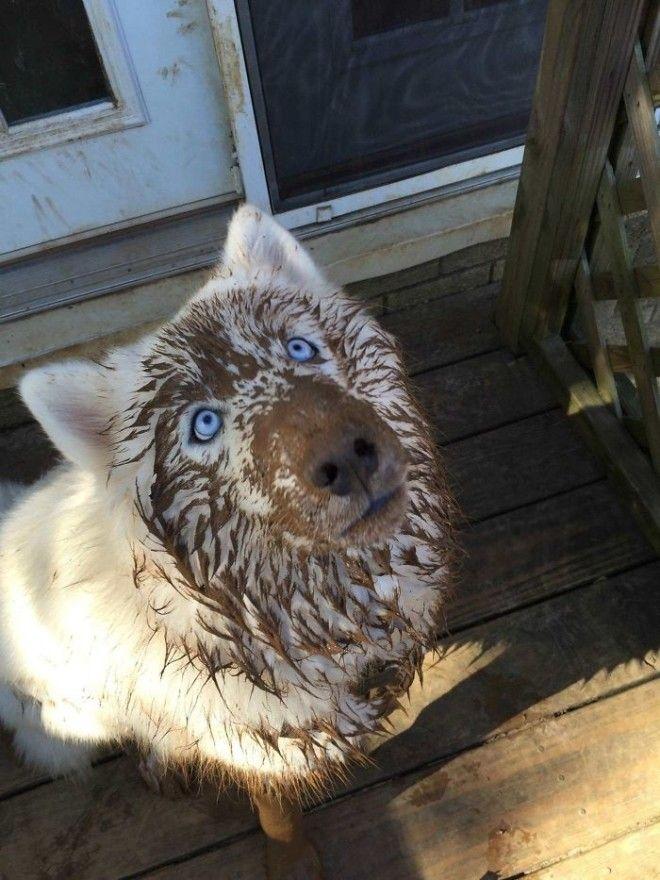 смешные хаски хаски самые странные собаки