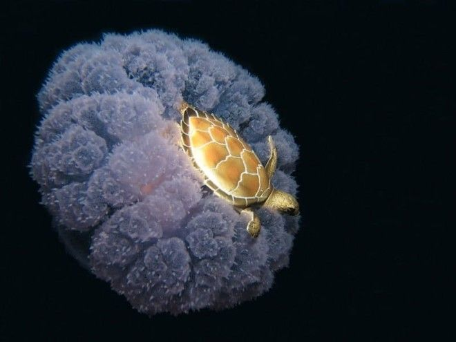 http://voobsheogon.ru/wp-content/uploads/2017/11/wsi-imageoptim-06-turtle-riding-a-jellyfish.jpg