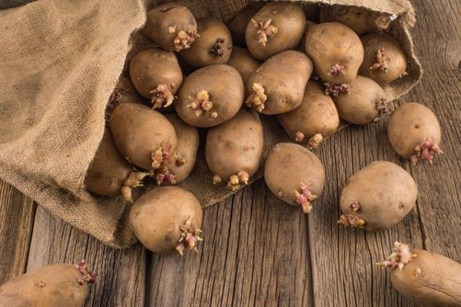 Проросший картофель не стоит употреблять в пищу