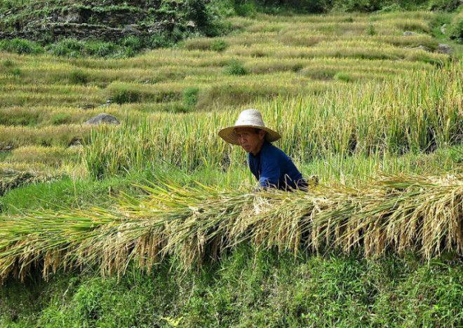 Упорный труд на рисовых полях вековая традиция Фотоawdru