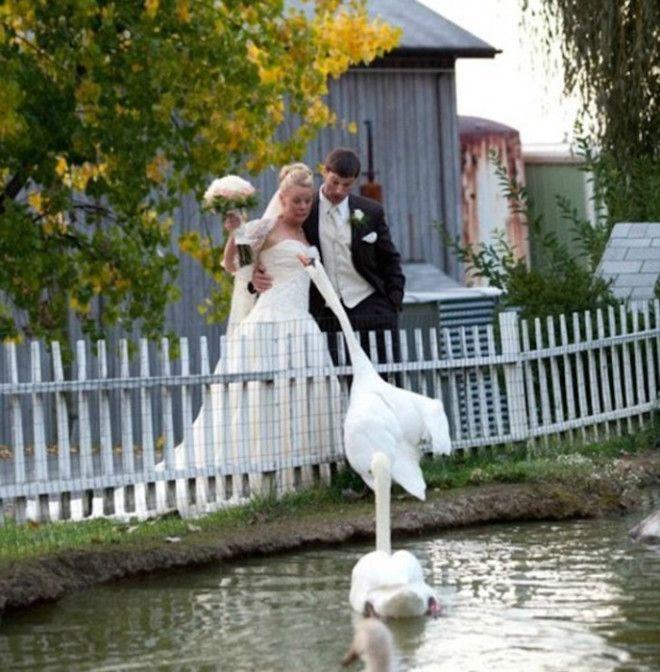 Лебедь против невесты Фото Noticias y posts
