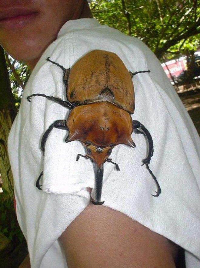 SОгромнейшие жуки нашей планеты которые напугают кого угодно