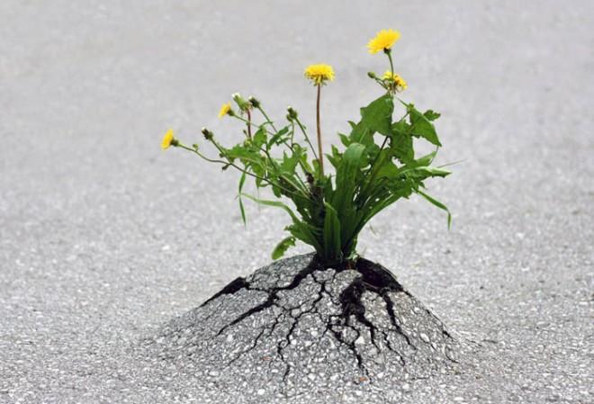 Даже хрупкий цветок, если он решил, что будет жить, может разбить твердый асфальт.