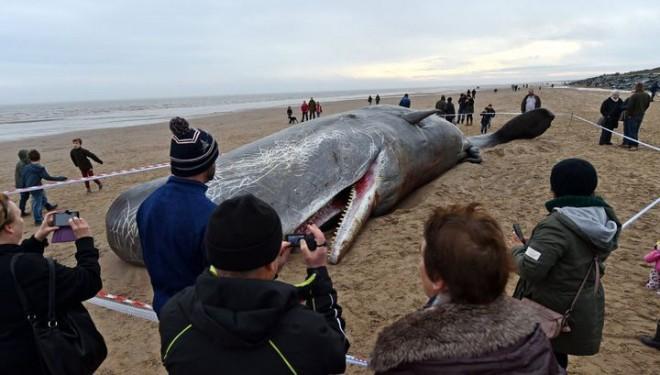 С каждым годом все больше этих китов выбрасываются на берег!