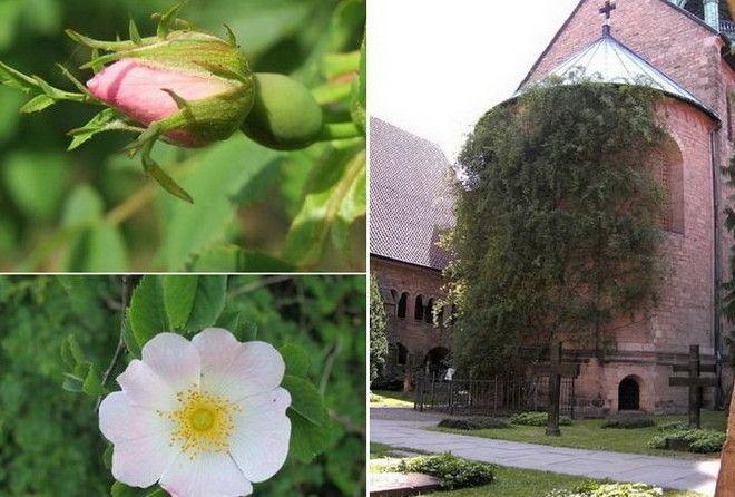 Возраст этого растения от 400 до 700 лет!!!