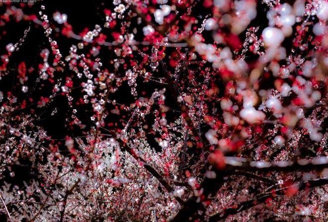 Цветение сливовых деревьев - нечто завораживающее...